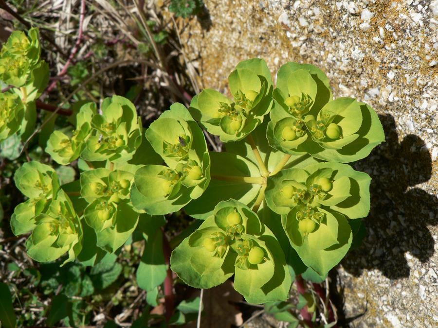 La 39 arrozza der gambini fiori verdi for Fiori verdi
