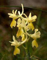 orchidea-g