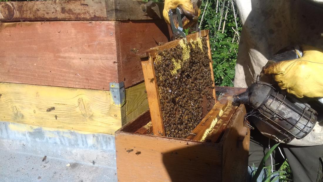 apicoltore 010