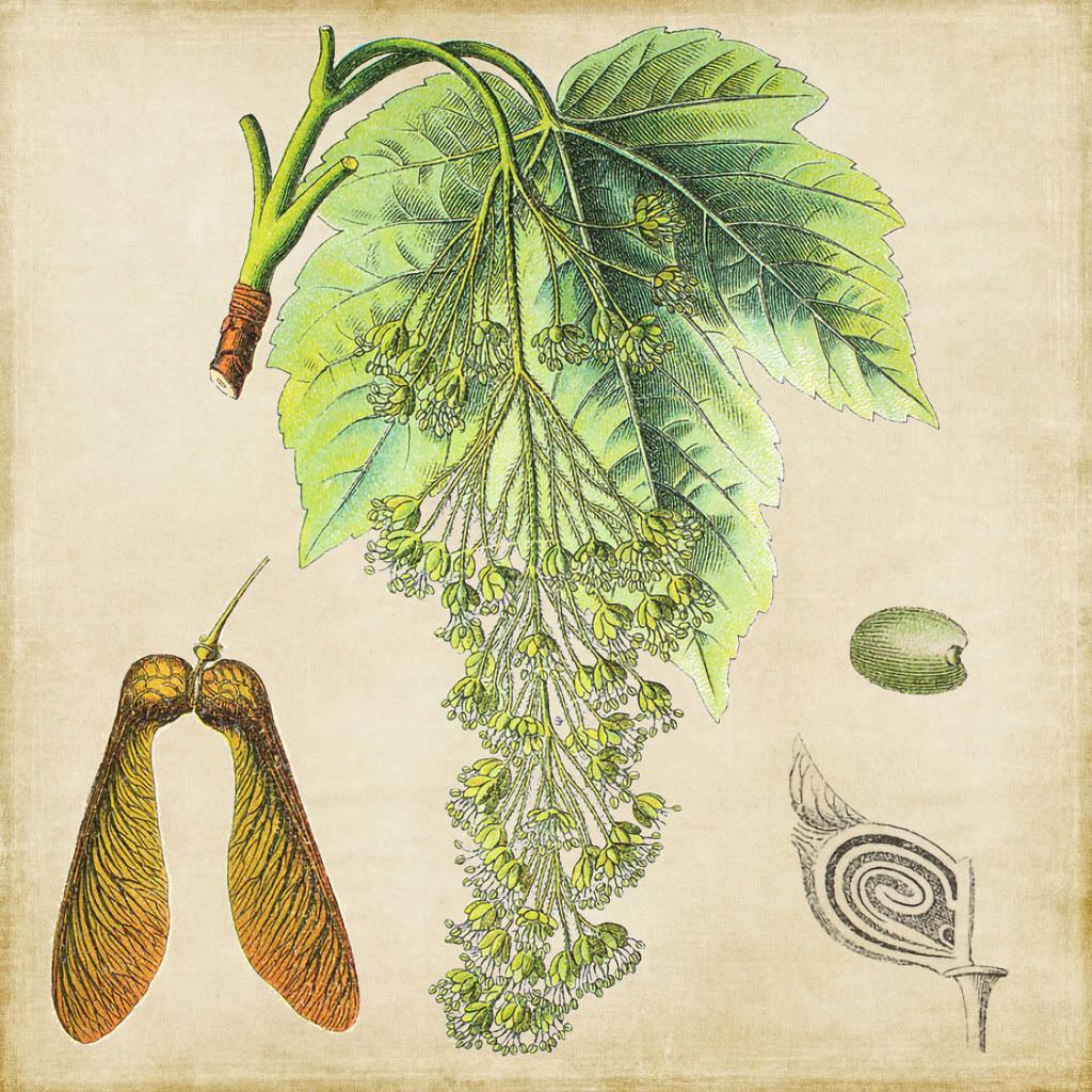 Acero Radici Invasive la 'arrozza der gambini - fiori a